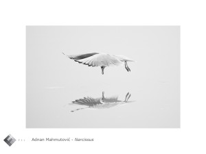 Adnan_Mahmutovic_narcissus