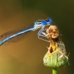 PRIRODA - Dragonfly - Samir Čeligija