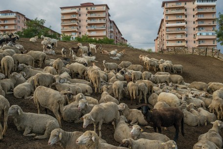 A flock of about 500 sheep and goat rest at a farm close-by a new built apartment blocks, called Confort City. The farm has been here, at the edge of Bucharest, for decades. The apartments have been build 10 years ago; since then, their inhabitants are making constant efforts to shut down the farm, complaining against the smell and noise. Today the farm is almost closed, but as its own decision: the owner is too old and nobody else wants to continue this business.